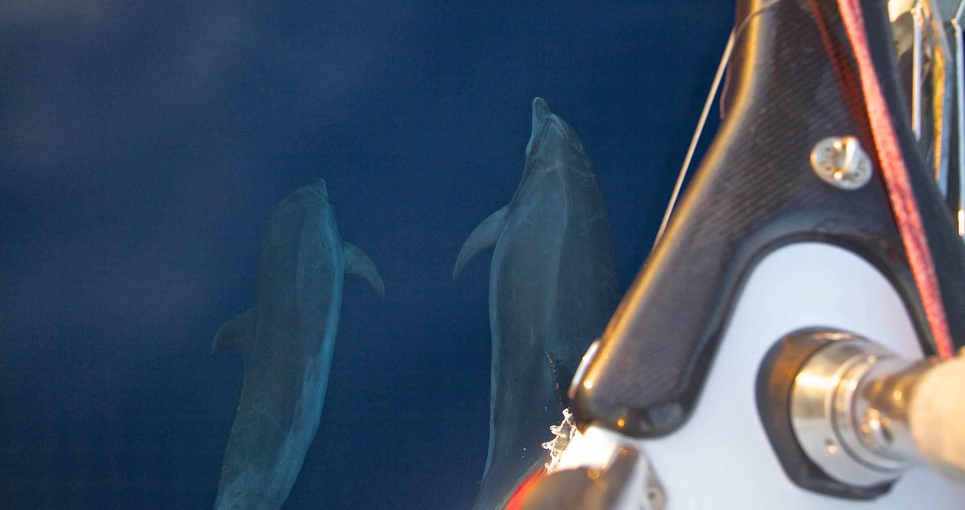 dolphin sea sailing
